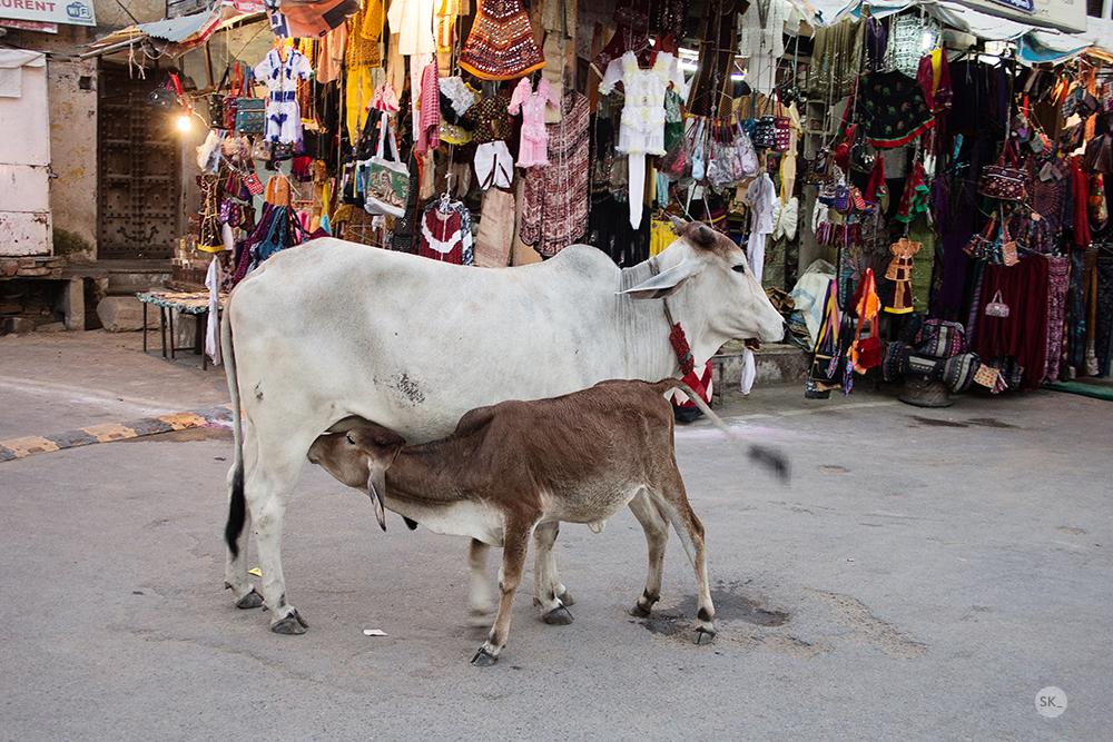 Nordindien Kuh und Kalb web _ c Sabine Karrer